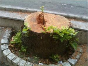 رویش جوانه های درختان تازه قطع شده خیابان ولی عصر ـ تهران ... سیاهی بر چهره کسانی که این درختان تنومند و زیبا را قطع کردند ...! عکس از آقای محمد گنجعلی